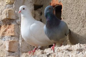 Dove Symbolism & Pigeon Meaning