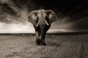 Elephant Symbol and Dream Meaning