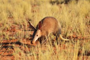 AARDVARK SPIRIT ANIMAL AND DREAM MEANING