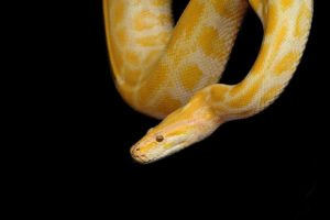Yellow Snake Dream